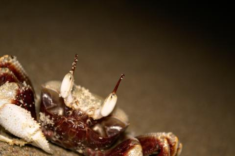 Crab on beach at Byron Bay, NSW, Australia closeup