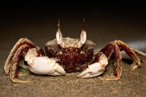 Crab on beach at Byron Bay, NSW, Australia