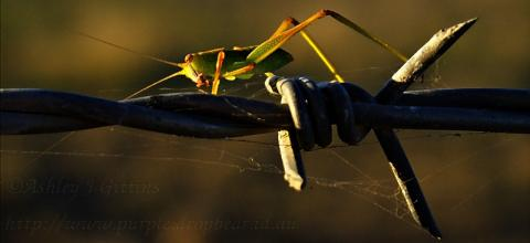 A grasshopper makes his way along a barbed wire fence at sunset.