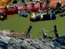 """In a patch of scrub recently burnt out a colony of ants on a tree trunk encourage their mates to burst the pinata - who oddly, seemed unpeturbed. Taken with a homemade diopter attachment on a Fuji S7000. Placed 7th in the Fujimugs """"Festivities"""" Open challenge."""