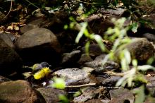 """I think this little fellow is an """"Eastern Yellow Robin"""" (<i>Eopsaltria Australis</i>) but I am not entirely convinced. Please let me know if you can identify him."""