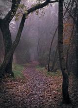 Photograph on a foggy day. Autumn leaves scattered on a dirt walking track, with trees leaning in overhead, and the fog obscuring the track into the distance